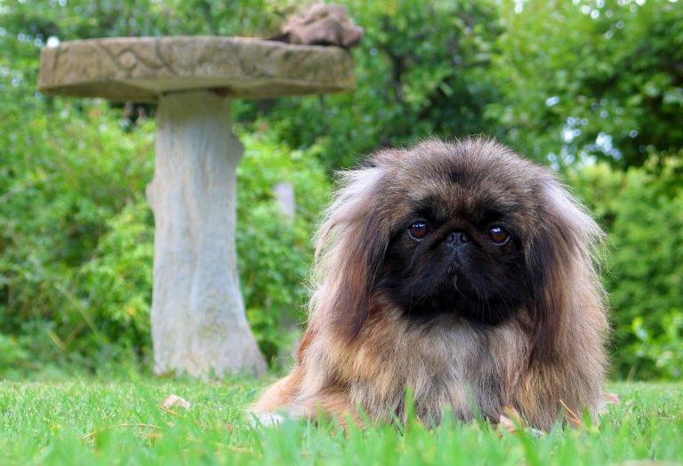 De Pekinees een klein hondenras